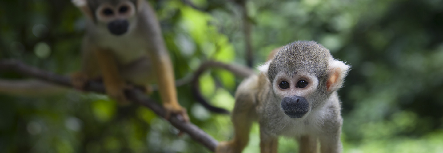 """Squirrel monkeys from the PBS series """"Your Inner Fish."""" Used with permission from Tangled Bank Studios, LLC. Copyright 2014. All rights reserved."""