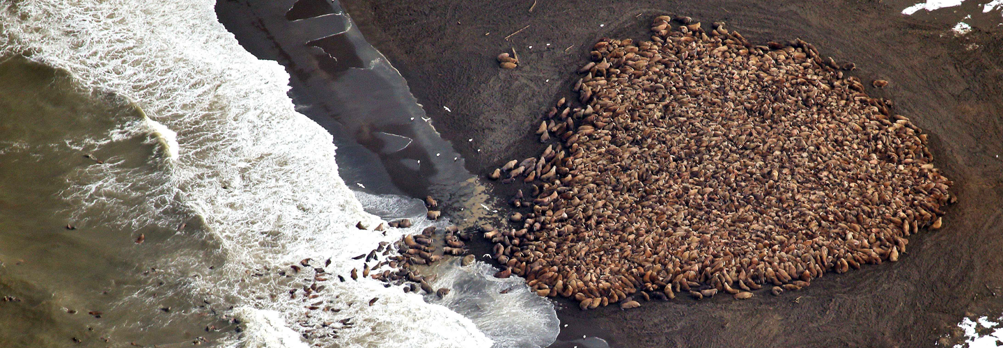 Walrus haul-out in Point Lay, AK, August 2014. Credit: Corey Accardo, NOAA/NMFS.