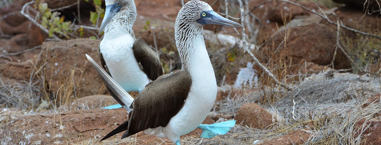 Blue-footed boobies. Credit: Paul Krawczuk/Flickr CC.
