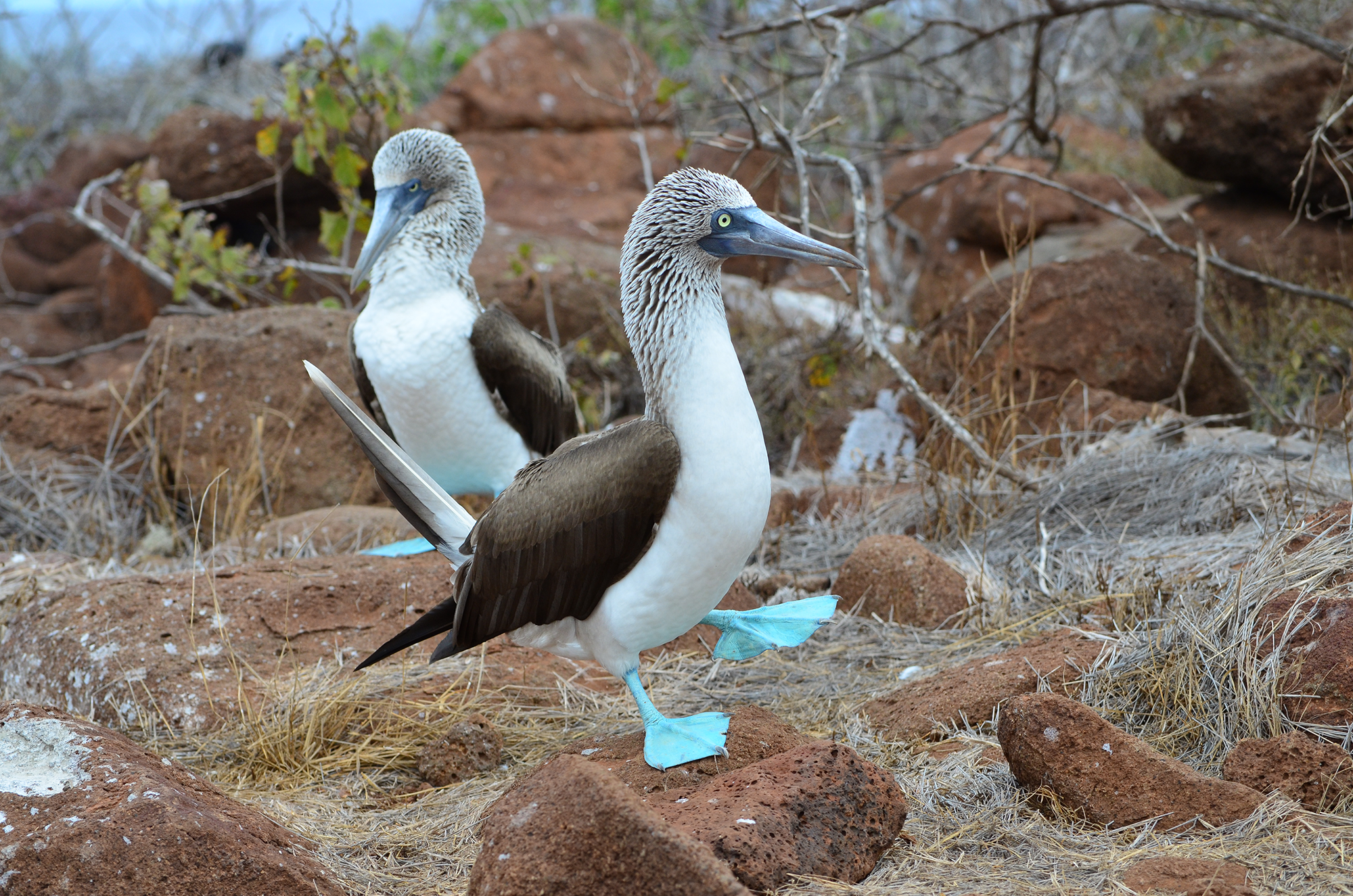 Blue-footed boobies. Credit: Paul Krawczuk/Flickr CC.