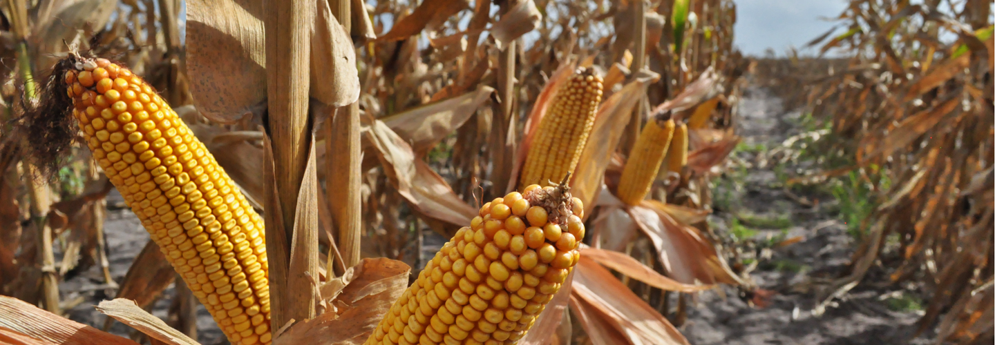 Genuity DroughtGard hybrid corn can withstand drought conditions due to better water efficiency. Credit: Monsanto Company.