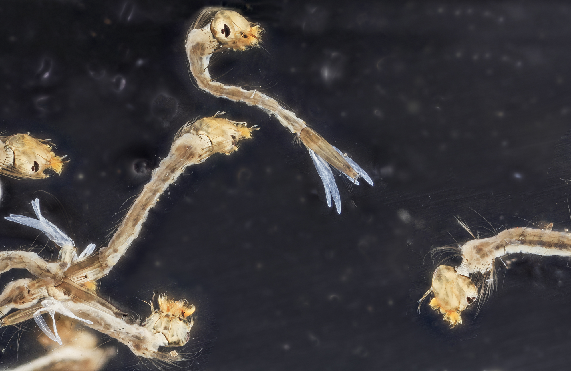 Mosquito larvae. Credit: USGS Bee Inventory and Monitoring Lab.