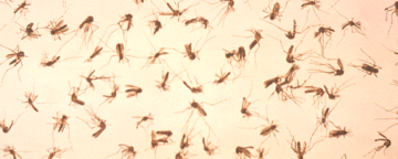 Dead mosquitoes prepared for sorting. Credit: CDC/James Stewart,