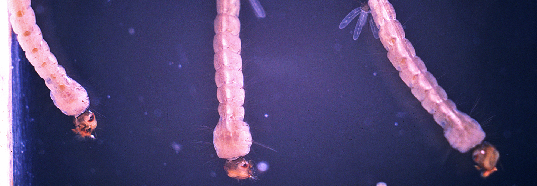 Aedes aegypti larvae. Credit: CDC/Harry D. Pratt.