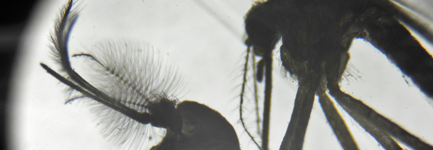 Male mosquito (left) and female mosquito (right) shown through a microscope. Credit: U.S. Air Force/Staff Sgt. Caleb Pierce.